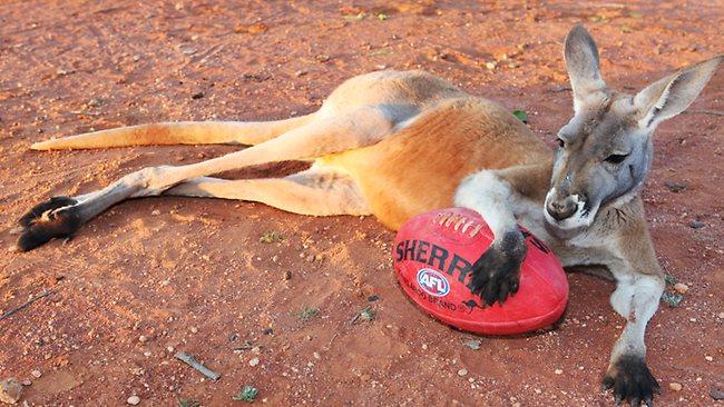 Kangaroo footy